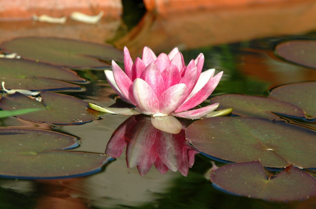 waterlily a symbol of life